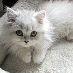 Beautiful Cute Cats Images Beautiful Cats Of 2016 Animals And Pets, Baby Animals, Funny Animals, Cute Animals, Animal Memes, Funny Cats, Pretty Cats, Beautiful Cats, Animals Beautiful