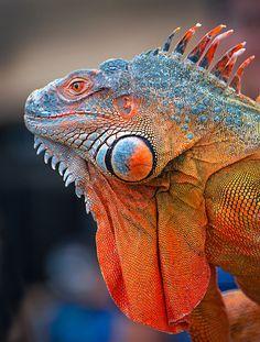 Iguana Colorida