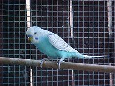 birds birds birds Fancy Parakeet, Black Spot, Black And White, Parakeets, Albino, Waves