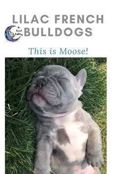 Hi I'm Moose a lilac French Bulldog. Just look at my cute little face! I spend my days eating and napping the days away. I can't wait to join my furever family! See more pics & videos of me! #FrenchBulldog #FrenchBulldogs #FrenchBulldogpuppy #FrenchBulldogpuppies #TheFrenchBulldog #cuteFrenchBulldogs #FrenchBulldogvideos #lilacfrenchbulldogs #greyfrenchbulldogs #LilacFrenchBulldog #LilacFrenchBulldogPuppy #LilacFrenchBulldogPuppies Lilac French Bulldog, French Bulldog Names, French Bulldog Puppies, French Bulldogs, Light Blue Eyes, What Dogs, Love French, Dog Design, Mans Best Friend
