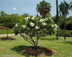 Tropical Landscaping, Landscaping Plants, Tropical Garden, Tropical Flowers, Tropical Plants, Landscaping Ideas, Plumeria Tree, Backyard Plants, Coastal Gardens
