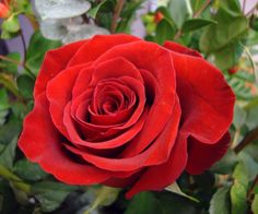 Is there anything more beautiful than a red rose?