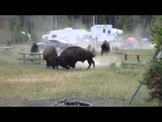 Incredible Bison Battle - YouTube 4x4 Camper Van, Girl Scouts Of America, Get Rid Of Spiders, Boy Scout Camping, Tent Camping, Glamping, Yellowstone Camping, National Treasure, Bison