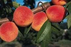 Redhaven Peach.  You'll enjoy bushels of big, luscious peaches with almost fuzzless skin over firm, creamy yellow flesh. Fruit is medium to large--just right for fresh snacks, canning or freezing. This heavy-bearing, cold-hardy peach is also disease resistant--shrugging off leaf spot. Ripens late July.    A Stark Pick! Hand-selected by our experts for its simple upkeep and ease of growing-- an excellent choice for both seasoned and first-time fruit growers.