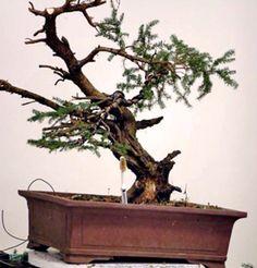 Picea Abies Bonsai in progress 3