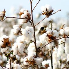 cotton fields....acetate is made of  cotton and wood but processed with chemicals. Only M49 acetate is environmentally friendly and biodegradable.