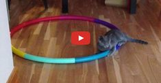 This kitty is crazy for his hula hoop!