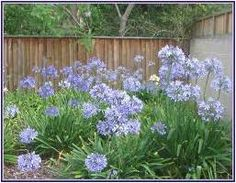 Agapanthus.  Purple ones, but if you put an Iron nail in the ground they turn pink, too! :D
