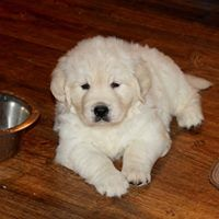 English Cream Golden Retriever Puppy Golden Retriever Mix
