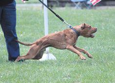 apbt:  ADBA Grand Champion of the week BOOGIE NIGHTS G/C I...#pitbulls #dog breeds #canine pet #dogs #pitbull puppy #pitbull dog #pitbull breeds #red nose pitbull #pitbull terrier #apbt #staffordshire terrier #amstaff #english terrier #black pitbull #moo moo pit #chocolate pitbull #pitbull poodle #blue nosed pit #pitbull mutt #mans best friend #4 month old pitbull