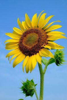 Sunflower Wallpaper, Flower Background Wallpaper, Flower Phone Wallpaper, Flower Backgrounds, Sunflower Photography, Nature Photography, Happy Flowers, Beautiful Flowers, Vincent Willem Van Gogh