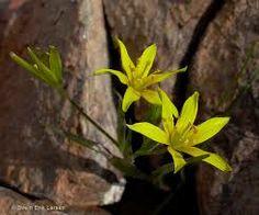 gagea foliosa Hierba perenne con dos bulbos envueltos por una túnica común. Tiene dos hojas basales. Crece en terrenos rocosos, florece en febrero-abril.
