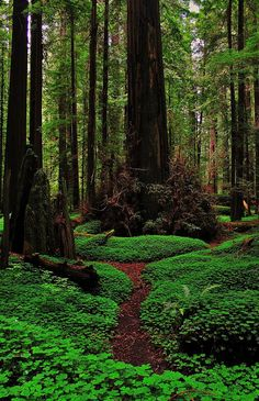 Forest Trail, The Redwoods, California. For more shamanic enviornments, see book, Shamanic Gardening: Timeless Techniques for the Modern Sustainable Garden Foto Nature, All Nature, Science And Nature, Nature Tree, Green Nature, Parc National, National Parks, National Forest, Places To Travel