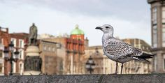 Dublin Seagull Print by Barry O Carroll Dublin City, Nature Photos, Fine Art America, Nature Photography, Instagram Images, Landscape, Canvas, Street, Gallery