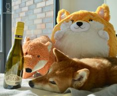2014 Malat Höhlgraben KremstalToo many foxes and sheebs for one... #shiba