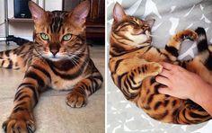 Voici Thor, le chat avec le pelage « tigre » le plus joli du monde !