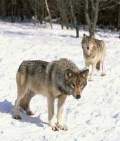"""Wolves       You'll often hear the term """"alpha male"""" applied to dominant human dudes, but in actual wolf packs, alpha males don't act alone. An alpha male has his alpha female by his side, and they share dominance in the pack. During mating season in particular, the ladies rule. Those little pups need to be taken care of, and the pack knows who's in charge. That's the sign of a strong bond between life partners: knowing when to give and take dominance in the relationship. Wolf couples don't…"""