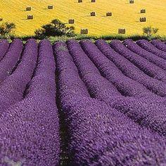 Texas lavender fields