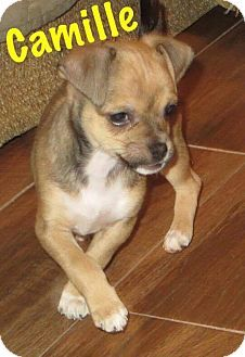 Fort Wayne, IN - Chihuahua Mix. Meet Camille, a puppy for adoption. http://www.adoptapet.com/pet/17358546-fort-wayne-indiana-chihuahua-mix