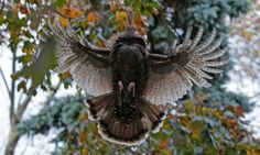 A wild turkey flies up to it's evening roost on Staten Island, New York. Photograph: Kathy Willens/AP