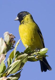 Hooded Siskin, Carduelis magellan-ica, the most common siskin in S.A. The Birds of Guyana