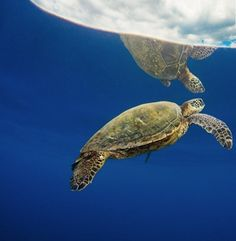 sea turtle underwater hawaii