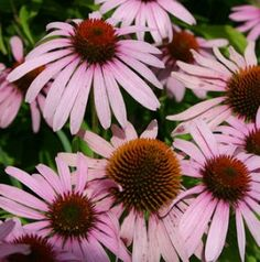 Why you should not take echinacea if you have an autoimmune disorder, blood disorder,etc. Gallbladder Cleanse, Liver Cleanse, Natural Treatments, Natural Cures, Natural Medicine, Herbal Medicine, Prostate Cancer Cure, Flu, Perennials