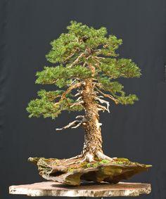 http://www.artofbonsai.org/art-of-bonsai-awards/2009/aob_066_picea abies