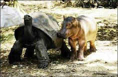 100 Year-old Tortoise acts as Mom to Baby Hippo. So crazy cute