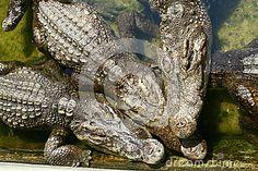 Three crocodiles in the crocodile farm