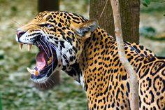 Felidae - Características : Felinos possuem dentes afiados e dilaceradores, adequados para capturar, segurar e rasgar uma presa e se necessário, morder os ossos.  Têm um número relativamente pequeno de dentes em comparação com outros carnívoros, uma característica associada a seus focinhos curtos.   Com poucas exceções, como o lince, a fórmula dental é:  3.1.3.1 3.1.2.1  Os dentes caninos são grandes, ...