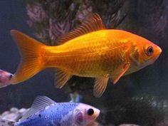 Common goldfish are excellent swimmers and are relatively competitive. They can get along with other goldfish variety.