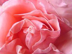 my rose blooming.