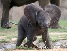baby elephant....majestic? not quite little fella....not yet..
