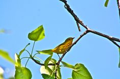 I love the tropical  little yellow warblers in North Pole, Alaska!!!