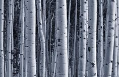 silver-birch-forest-plain