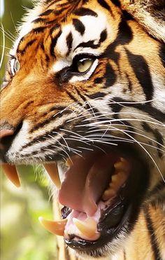 Planète tigre