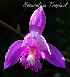 Otra foto de la flor de la orquídea Bletia patula donde se observa su hermoso labelo