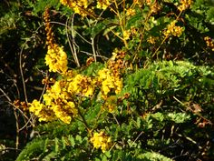 YELLOW POINCIANA (Peltophorum pterocarpum) — Common non-native tree found in Hawaiʻi. Image by Forest & Kim Starr.