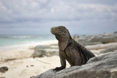 Iguana, Cayo Largo, Isla de la Juventud