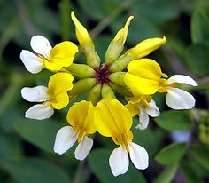 Lotus pinnatus - Bog Bird's-foot Trefoil. Unfortunately this beautiful flower is on the endangered plants list in Canada Flora Flowers, Unusual Flowers, Unusual Plants, Rare Flowers, Exotic Plants, Flowers Nature, Amazing Flowers, Special Flowers, Bog Plants