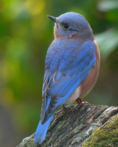 Bluebird - The bluebirds are a group of medium-sized, mostly insectivorous or omnivorous bird in the order of Passerines in the genus Sialia of the thrush family. Bluebirds are one of the few thrush genera in the Americas. Wikipedia