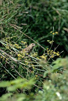#guidofrilli - photo Guido Frilli - Stagno di Cabras c/o Riola - Nikon D300 + Tamron 150/600 - 1/1600 sec. f/6.3 ISO-200 - 600 mm a 15.8 m. -verdone comune detto pure verdone o verdello (Chloris chloris (Linnaeus, 1758)) è un uccello passeriforme della famiglia dei Fringillidi.