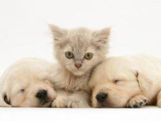 Lilac Tortoiseshell Kitten Between Two Sleeping Golden Retriever