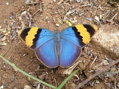 Glorious gold banded forester butterfly..