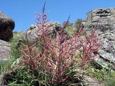 Flores silvestres de las sierras de Córdoba 5 Chaguar rojo