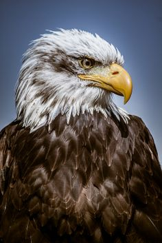 A Bald Eagle...i'm SO glad we didn't follow Benjamin Franklin's suggestion and make the turkey our national bird. An eagle is way more majestic!