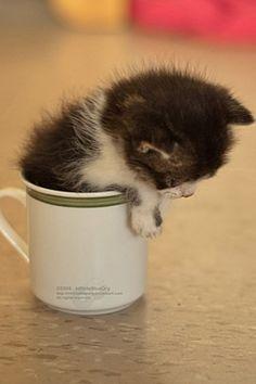 kitten in a cup