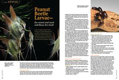 Peanut Beetle Larvae—the easiest and most nutritious live Environmental Research, Nutritional Value, Water Sources, Angel Fish, Whey Protein, Amino Acids, Beetle, Harvest, Things To Come