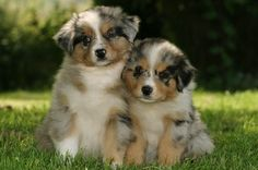 Blue Merle Aussies Puppies. I must have!!! So adorable!
